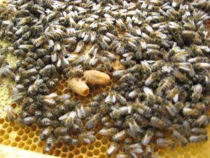 Colonnie d'abeille en pleine activité