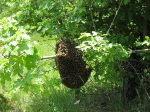 Essaim d'abeille sauvage