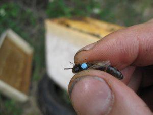 Marquage reine abeilles