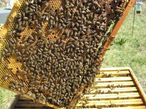 Colonnie d'abeilles - Activité