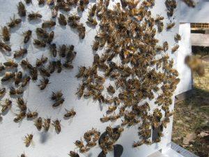 Abeilles : Activité devant la ruche