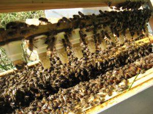 Colonie d'abeille à parrainer