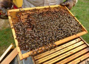 Visite et contrôle des cadres de chaque ruche